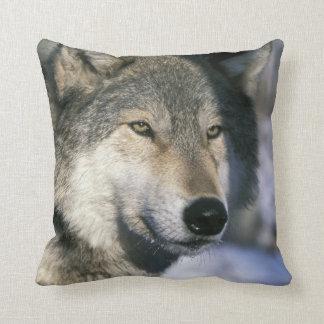 North America, USA, Minnesota. Wolf Canis 3 Cushion