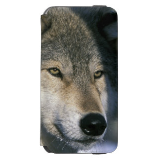 North America, USA, Minnesota. Wolf Canis 3 Incipio Watson™ iPhone 6 Wallet Case