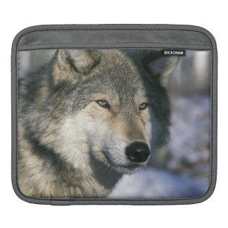 North America, USA, Minnesota. Wolf Canis 3 iPad Sleeve