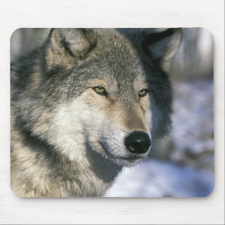 North America, USA, Minnesota. Wolf Canis 3 Mouse Mat