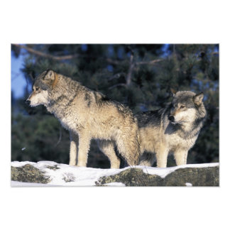North America, USA, Minnesota. Wolf Canis 3 Photo Print