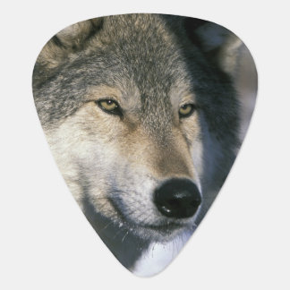 North America, USA, Minnesota. Wolf Canis 3 Plectrum