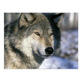 North America, USA, Minnesota. Wolf Canis 3 Postcard