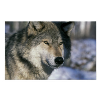 North America, USA, Minnesota. Wolf Canis 3 Poster