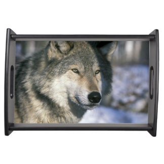 North America, USA, Minnesota. Wolf Canis 3 Serving Tray