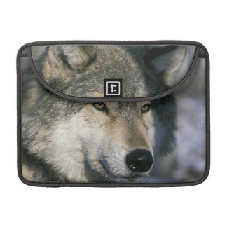 North America, USA, Minnesota. Wolf Canis 3 Sleeve For MacBook Pro