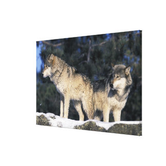 North America, USA, Minnesota. Wolf Canis 3 Stretched Canvas Print