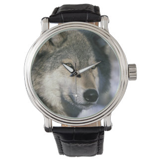 North America, USA, Minnesota. Wolf Canis 3 Watch