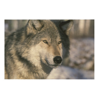 North America, USA, Minnesota. Wolf Canis 3 Wood Canvases