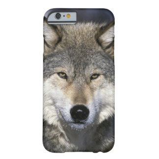 North America, USA, Minnesota. Wolf Canis Barely There iPhone 6 Case