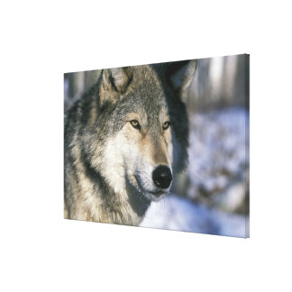North America, USA, Minnesota. Wolf Canis Stretched Canvas Print