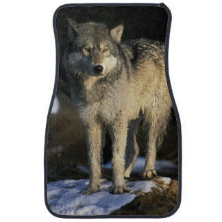North America, USA, Minnesota. Wolf (Canis Car Mat