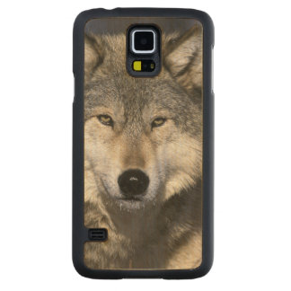 North America, USA, Minnesota. Wolf Canis Carved Maple Galaxy S5 Case