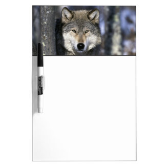 North America, USA, Minnesota. Wolf Canis Dry Erase Board