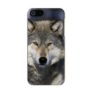North America, USA, Minnesota. Wolf Canis Incipio Feather® Shine iPhone 5 Case