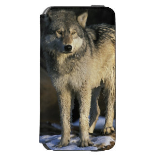 North America, USA, Minnesota. Wolf (Canis Incipio Watson™ iPhone 6 Wallet Case