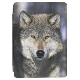 North America, USA, Minnesota. Wolf Canis iPad Air Cover