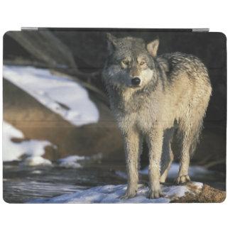 North America, USA, Minnesota. Wolf (Canis iPad Cover