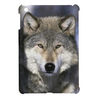 North America, USA, Minnesota. Wolf Canis iPad Mini Case