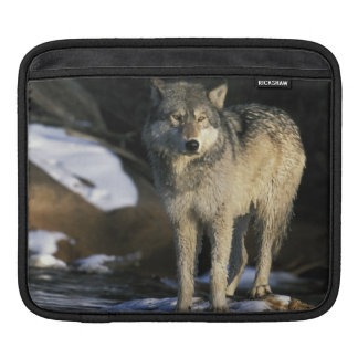North America, USA, Minnesota. Wolf (Canis iPad Sleeve
