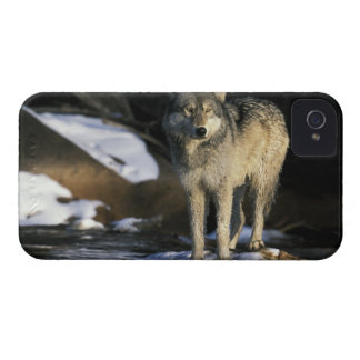 North America, USA, Minnesota. Wolf (Canis iPhone 4 Cases