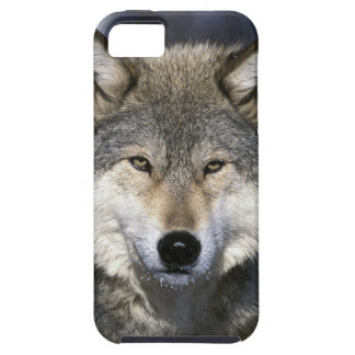 North America, USA, Minnesota. Wolf Canis iPhone 5 Covers