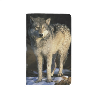 North America, USA, Minnesota. Wolf (Canis Journal