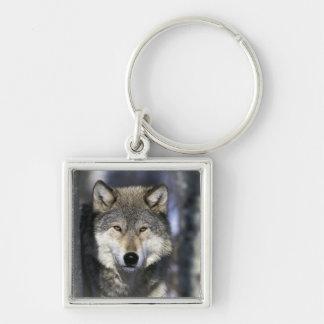 North America, USA, Minnesota. Wolf Canis Key Ring
