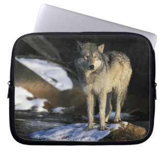 North America, USA, Minnesota. Wolf (Canis Laptop Sleeves
