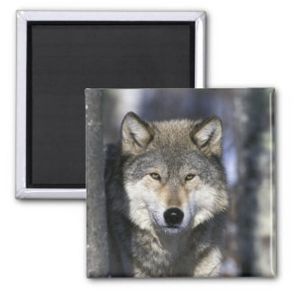 North America, USA, Minnesota. Wolf Canis Magnet