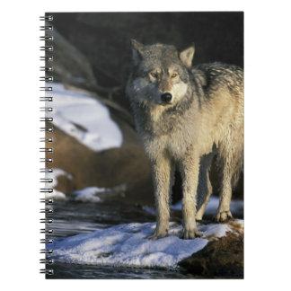 North America, USA, Minnesota. Wolf (Canis Notebook