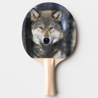 North America, USA, Minnesota. Wolf Canis Ping Pong Paddle