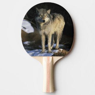 North America, USA, Minnesota. Wolf (Canis Ping Pong Paddle