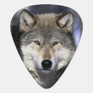 North America, USA, Minnesota. Wolf Canis Plectrum