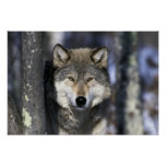 North America, USA, Minnesota. Wolf Canis Poster