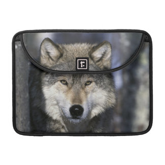 North America, USA, Minnesota. Wolf Canis Sleeve For MacBooks