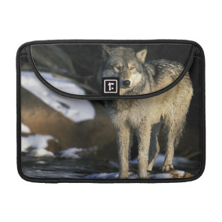 North America, USA, Minnesota. Wolf (Canis Sleeves For MacBook Pro