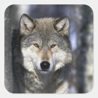North America, USA, Minnesota. Wolf Canis Square Sticker