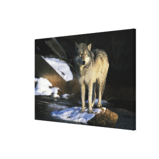 North America, USA, Minnesota. Wolf (Canis Stretched Canvas Print