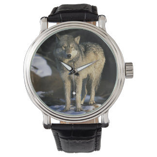 North America, USA, Minnesota. Wolf (Canis Watch