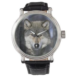 North America, USA, Minnesota. Wolf Canis Watch