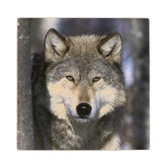 North America, USA, Minnesota. Wolf Canis Wood Coaster