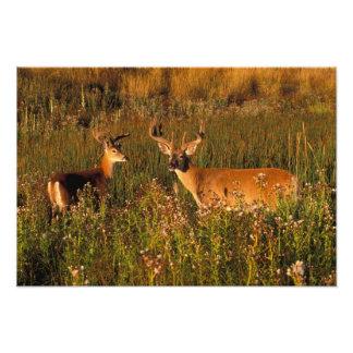 North America, USA, Montana, National Bison Photo Print
