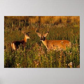 North America, USA, Montana, National Bison Poster