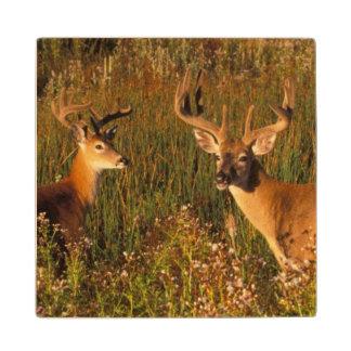 North America, USA, Montana, National Bison Wood Coaster