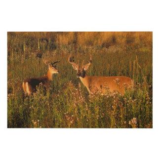 North America, USA, Montana, National Bison Wood Print