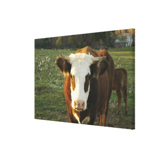 North America USA New Hampshire A bull on Stretched Canvas Prints