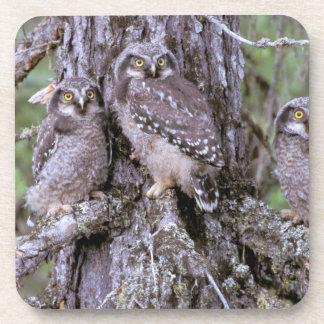 North America, USA, Oregon. Burrowing Owls Beverage Coaster