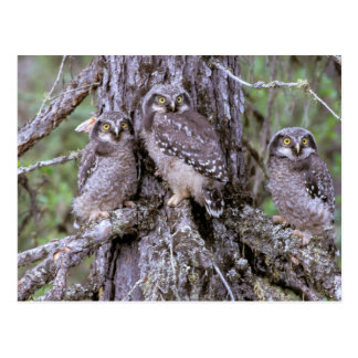 North America, USA, Oregon. Burrowing Owls Postcard