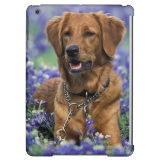 North America, USA, Texas. Golden Retriever in